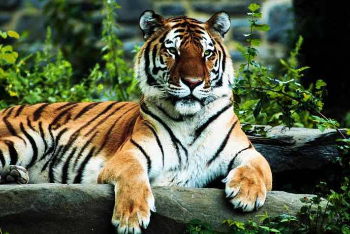 Royal Bengal Tiger in Nepal, Bardia National park, Jungle safari package
